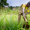 What Uganda's Seed Problems Tell Us About How to Develop Dynamic Markets