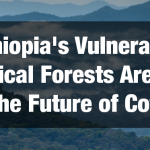 Ethiopia's Vulnerable Tropical Forests Are Key to Securing Future of Wild Coffee