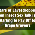 Years of Eavesdropping on Insect Sex Talk is Starting to Pay Off for Grape Growers